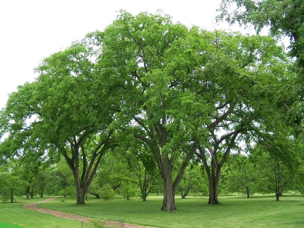 Elm Trees | B. Rocke Landscaping | Winnipeg, Manitoba