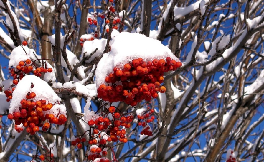 Snowy Mountain Ash