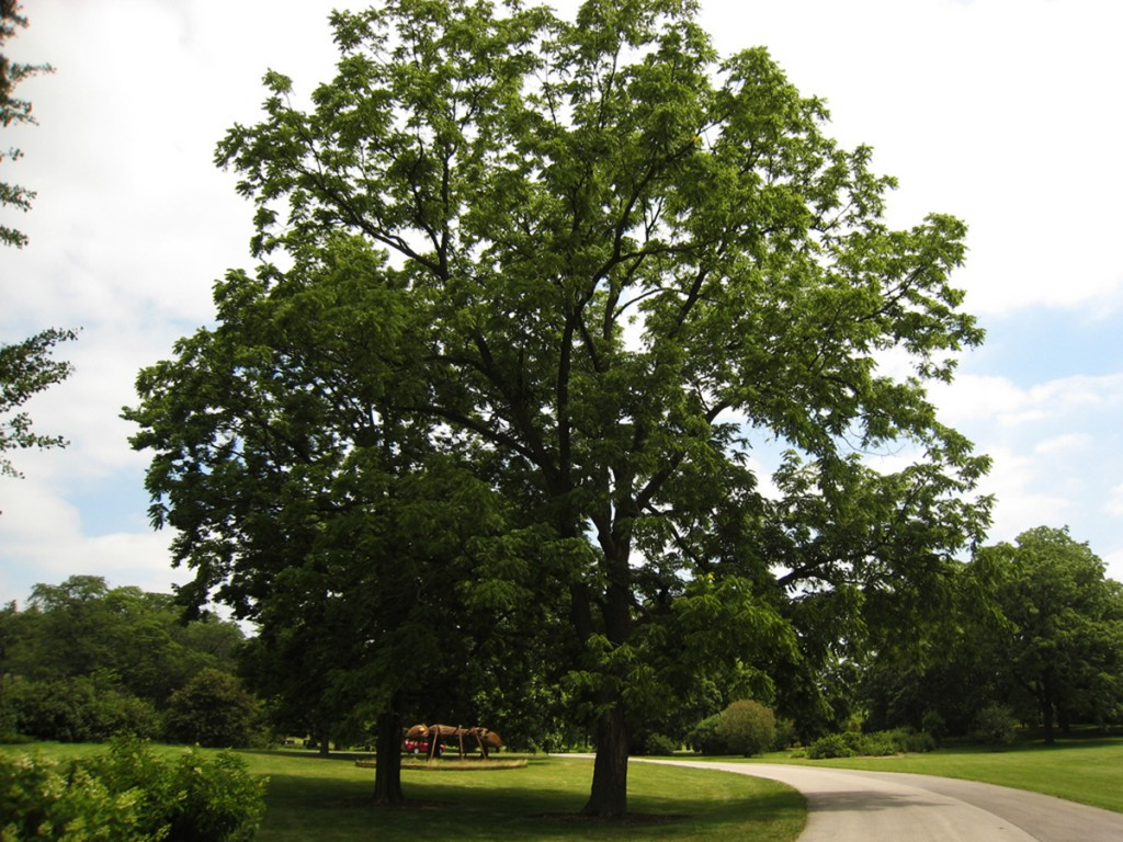 Black Walnut Tree | B. Rocke Landscaping | Winnipeg, Manitoba