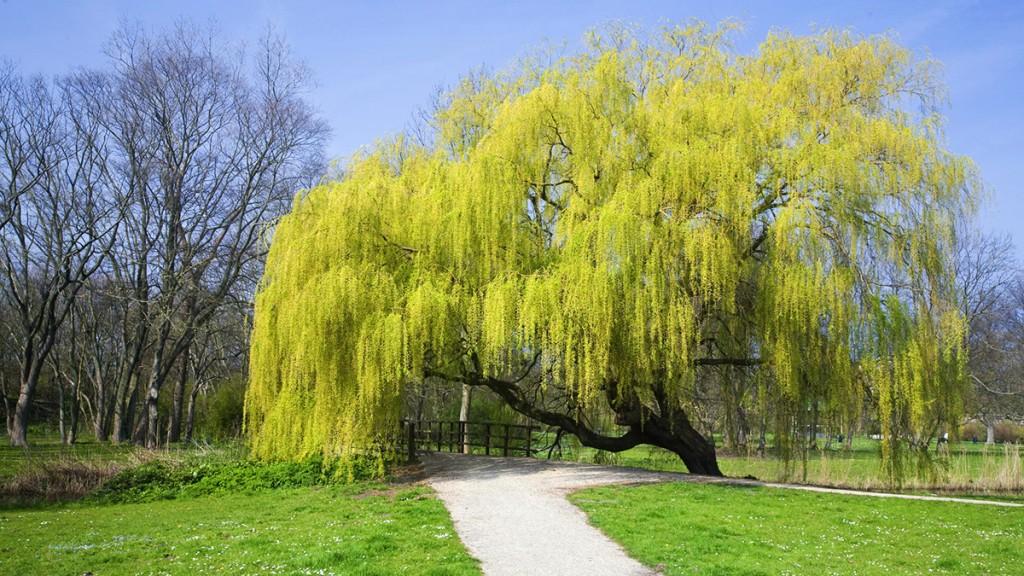 Golden Weeping Willow Tree | B. Rocke Landscaping | Winnipeg, Manitoba