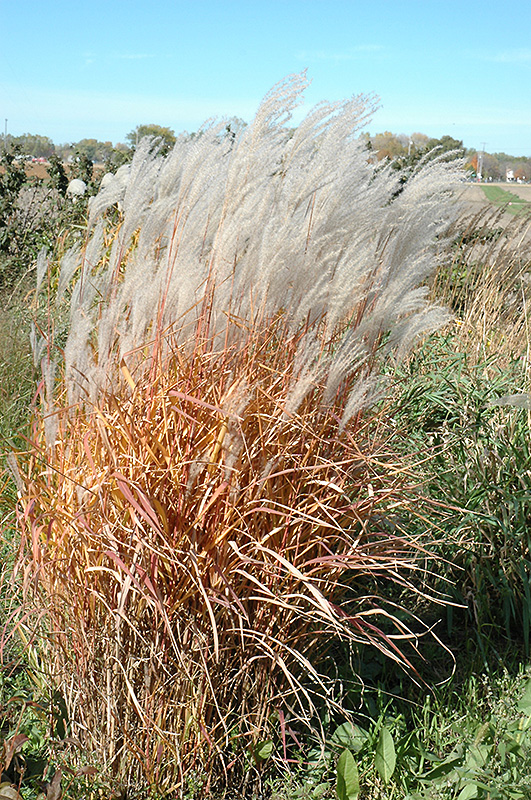 Miscanthus Flame Grass | B. Rocke Landscaping | Winnipeg, Manitoba