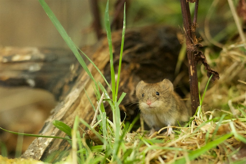 Cute Vole | B. Rocke Landscaping | Winnipeg, Manitoba