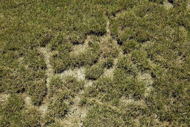 Vole Lawn Damage | B. Rocke Landscaping | Winnipeg, Manitoba
